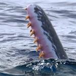 Зубы-кита-кашалота-фото-1024x683