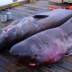 Greenland-Shark-04