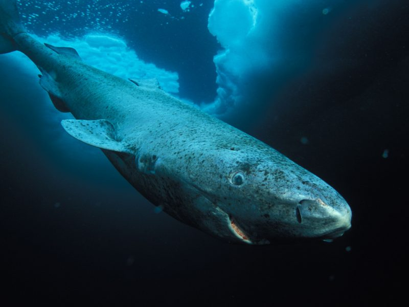 Greenland-Shark-Hudson-Bay-Labrador-Diving-Tourism-Blue-Sea-5k-800x600