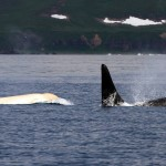white_killer_whale_2_1500